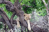 Lion Youngster on Tree Branch