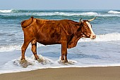 Cow Standing in Surf
