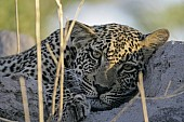 Young Leopard Resting on Termite Mound
