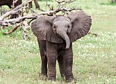 Baby Elephant Standing, Front-On