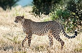 Cheetah Adult Walking, Side View