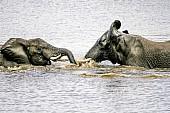 Elephant Pair Romping in Lake