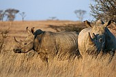 White Rhinoceros Duo