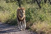 Lion Male Walking