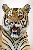 Bengal Tiger on Light Background