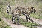 Leopard Mother with Juvenile