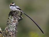 Pin-tailed Whydah in Breeding Plumage