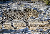 Leopard Male on the Move