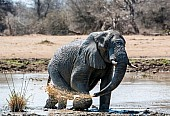 Elephant Squirting Muddy Water from Trunk