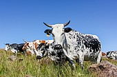 Nguni Cattle in Summer Grass
