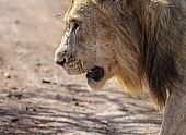 Lion Male, Close View