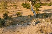Leopard on Hillock