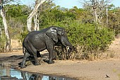 Elephant Leaving Waterhole