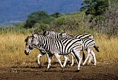 Zebra Group Walking