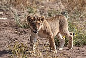 Lion Cub Reference Picture