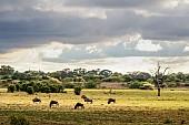 Wildebeest in Grassland