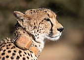 Portrait of Cheetah with Collar