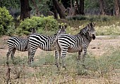 Zebra Trio in Formation
