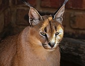 Caracal Head Shot