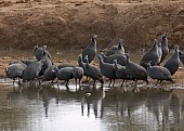 Guineafowls at waterhole
