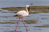 Lesser Flamingo in Shallows