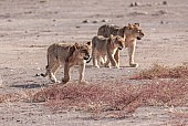 Lion Juveniles on the Move
