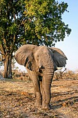 Elephant Bull, Front-on View