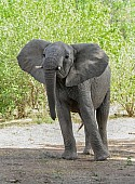 African Elephant with Head Hight