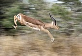 Impala Ram Leaping