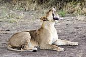 Lioness Yawning, Full Figure