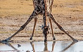 Giraffe Drinking, Close-up