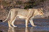 Young Lioness Standing in Shallow Water