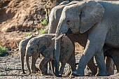 Elephant Youngsters and Adults