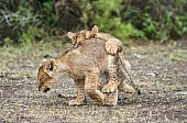 Lion Cub Honing Hunting Technique