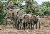 Elephant Group in Defensive Formation
