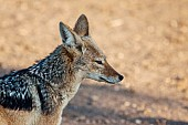 Black-backed Jackal Side View, Close-Up