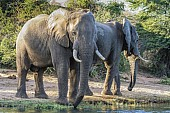 Elephant Pair Drinking from River