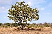 Impala Under Tree