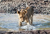 Juvenile Lion Standing in Shallow Water