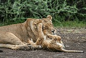 Lioness Tolerates Playful cub