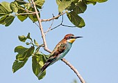 European Bee-eater Perching in Leafy Tree
