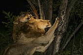 Male Lions Sharpening Claws