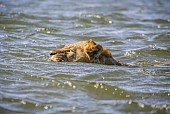 Swimming Lion