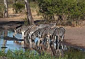 Reference photo of zebra group at waterhole