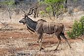 Kudu Bull Wildlife Reference Photo
