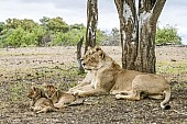 Lioness Pair with Cubs