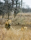 Male Lions in Long Grass