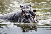 Hippos in Pool