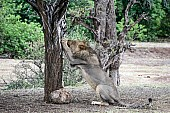 Lion Male Sharpening Claws on Tree Trunk