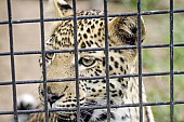 Caged Leopard